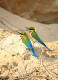 Pair of Blue Tailed Bee Eater Royalty Free Stock Photos