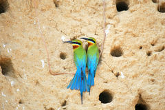 Pair of Blue Tailed Bee Eater Stock Photography