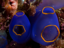 A pair of blue tunicates Royalty Free Stock Photos
