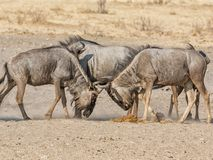 Blue Wildebeest Fighting royalty free stock images