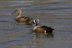Pair of Blue-winged Teal, Anas discors swimming royalty free stock photo
