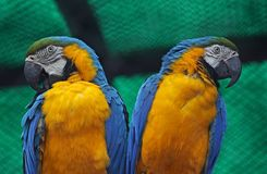 A pair of Blue and yellow Macaws Stock Photo