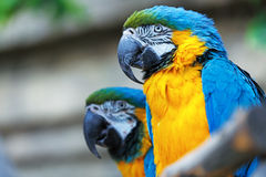 A pair of blue-and-yellow macaws. Stock Images