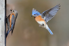 Pair Of Bluebirds royalty free stock photo