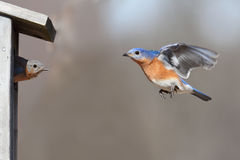 Pair Of Bluebirds Stock Photo