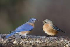 Pair of bluebirds Stock Photos