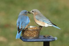 Pair of Bluebirds on a Feeder Stock Photos