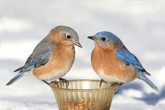 Pair of Bluebirds On A Feeder With Snow Stock Images