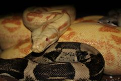 Pair of boa constrictors mating Royalty Free Stock Image