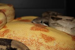 Pair of boa constrictors mating Stock Photo