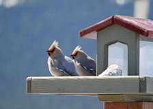 Pair of bohemian waxwings on backyard feeder Royalty Free Stock Photography