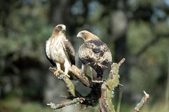 Pair of booted eagles Stock Photo