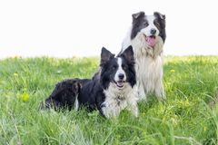 Pair of Border Collie is sitting at the meadow royalty free stock images