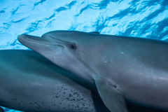 A pair of bottlenose dolphin Stock Photo