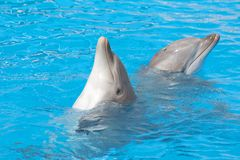 Pair of bottlenose dolphins Stock Photos