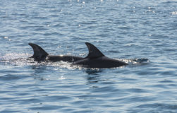 Pair of bottlenose dolphins in a tropical ocean Stock Photos