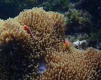 Pair of bright orange anemonefish or clownfish in anemone underwater stock image
