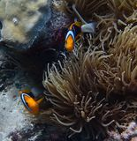 Pair of bright orange striped clownfish with anemone royalty free stock photography