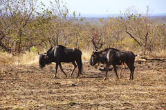 Pair of  brindled gnu in the south african bush Royalty Free Stock Image