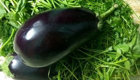 Eggplant Pair. A pair of brinjal eggplant placed on green herbs like coriander and spinach royalty free stock photos