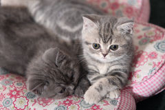 Pair of British Shorthair Kittens Stock Images