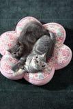 Pair of British Shorthair Kittens Stock Photos