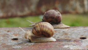 Pair of Brown Burgundy Roman Snail or Slug Racing Outdoors stock footage