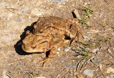 Pair of brown Frogs in the nature. Having in the mating season in the forest Stock Image