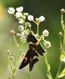 Pair of Brown Hopper Butterflies royalty free stock photos