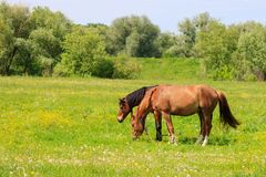 Pair of brown horses graze on a green meadow on a sunny summer day Stock Images