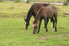 Brown Horses Grazing Royalty Free Stock Photography