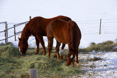 Pair of brown horses grazing in winter pasture Royalty Free Stock Photo