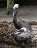Pair of Brown Pelicans on Nest. Pair of adult brown pelicans with white heads, chestnut brown hind necks, and long gray bills are together on their nest stock photography