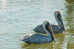 Pair of Brown Pelicans swimming royalty free stock image