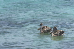 A Pair of Brown Pelicans Stock Photos