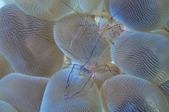 A pair of bubble coral shrimp Royalty Free Stock Image