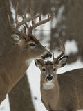 Pair of Bucks Stock Photography