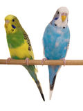 Pair budgerigar. On white background Royalty Free Stock Photo
