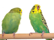 Pair budgerigar Stock Image