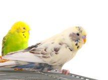 Pair budgerigar Royalty Free Stock Photo