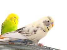 Pair budgerigar Royalty Free Stock Photo