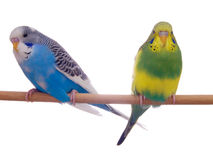 Pair budgerigar. On white background royalty free stock images