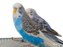 Pair budgerigar on cage. On white background royalty free stock photography
