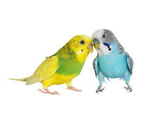 Pair budgerigar isolated on white Stock Photo