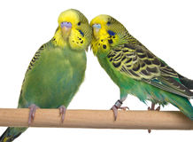 Pair budgerigar on white background Stock Photo