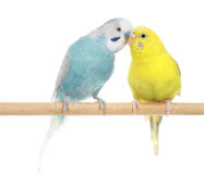 Pair of Budgerigars Royalty Free Stock Images
