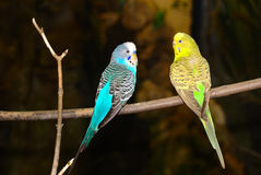A Pair of Budgerigars Royalty Free Stock Photos