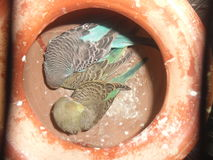 Pair of budgerigars in an earthen pot Royalty Free Stock Photo