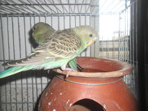 Pair of budgerigars in an earthen pot Royalty Free Stock Images