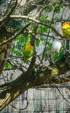 Pair of budgies cling to bars Royalty Free Stock Photo